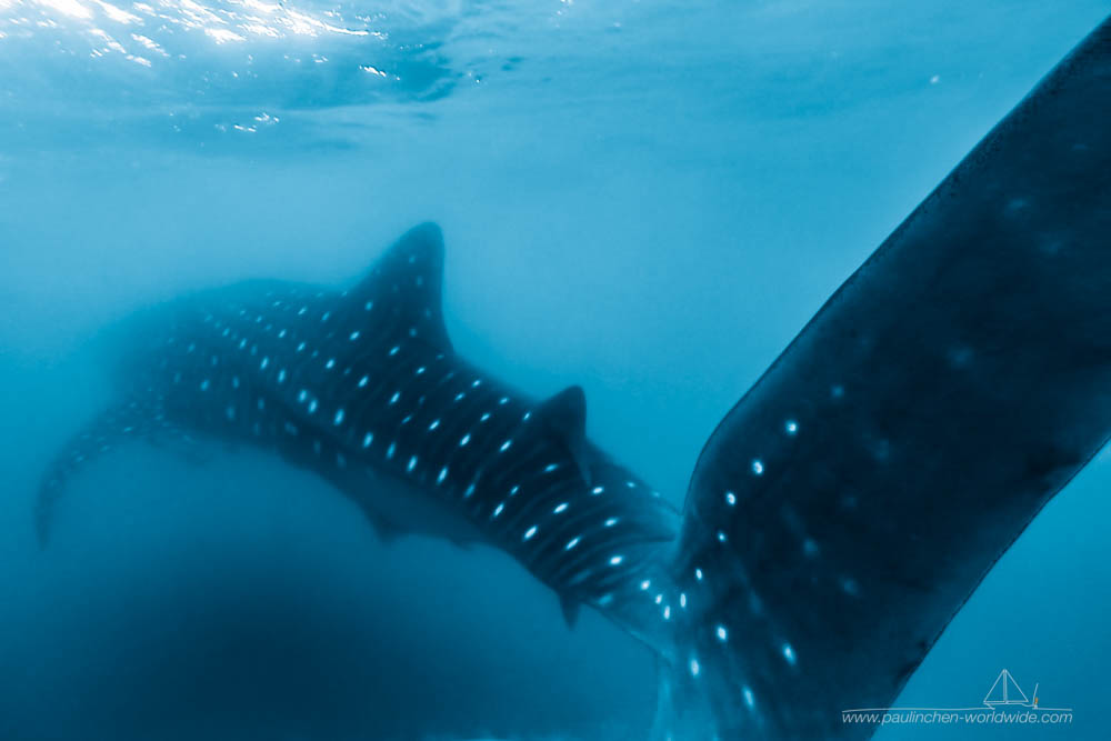 Walhai (Whale Shark) in der Sea of Cortez